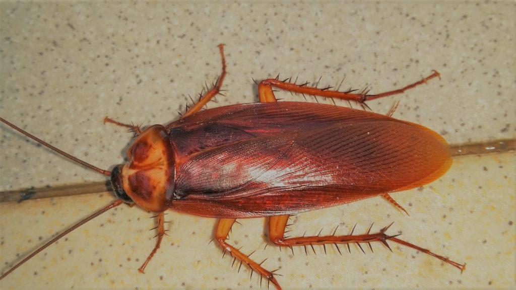 karaluch, karaczan, jak się pozbyć, zwalczanie